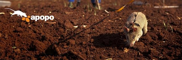 Apopo Ngo landmine detecting Hero Rats Siem Reap